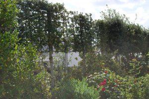 Clôture végétale (chêne vert palissés)
